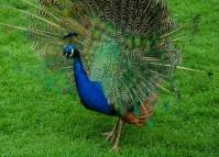 Peacock's pride