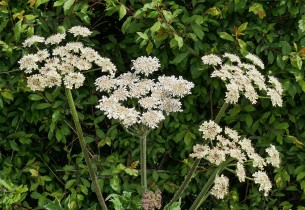 We won't need an umbellifer today