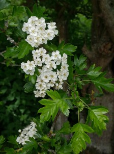 Hawthorn in the hedge