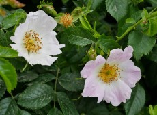 Still for a moment - wild rose