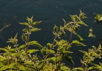 Riverside nettles