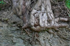 Roots in the rock