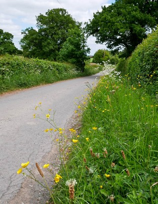 Buttercups beside the lane