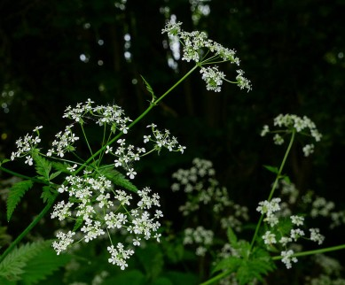 Cow parsley in the tunnel