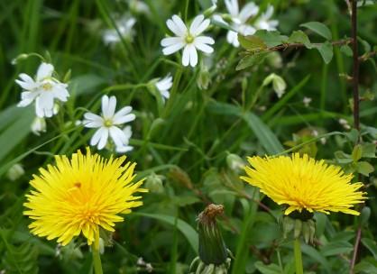Dandelions and stitchwort