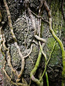 Ivy on old wood