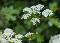 Cow parsley