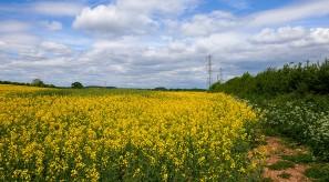 ...yellow fields