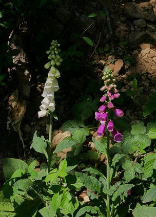 Foxgloves beside the path