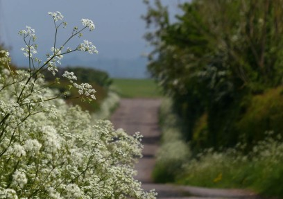 Cow parsley beside the lane