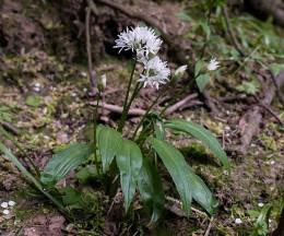 Wild garlic - all on its own