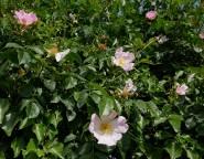 More wild rose
