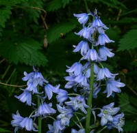 Last gasp of this year's bluebells
