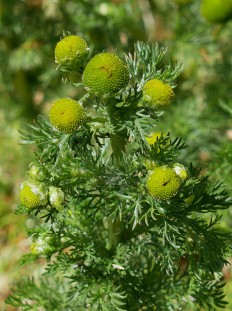... and pineapple weed