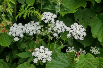 Ground elder in Pound Lane