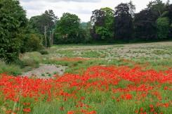 Wenlock poppies