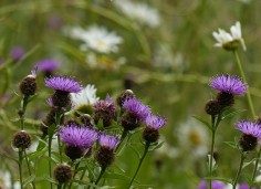 Knapweed beside the wheat