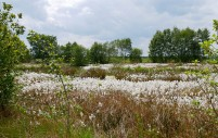 Bog cotton - snow in June