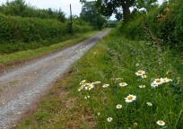 Daisies beside the lane