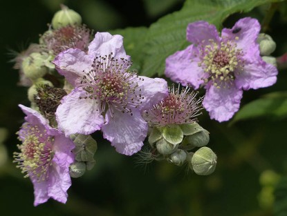 Colourful bramble blossom