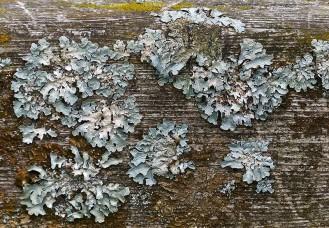 Lichen on the gate