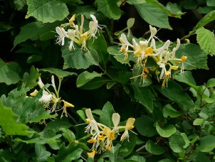 Honeysuckle in the hedge
