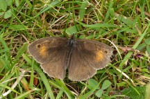 Tatty meadow brown