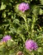 Thistles in the hedgerow
