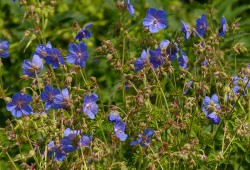 Cranesbill in profusion