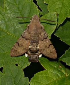 It's a hummingbird hawk-moth