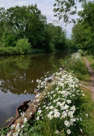 Daisies on the canal bank