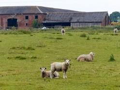 Inett sheep