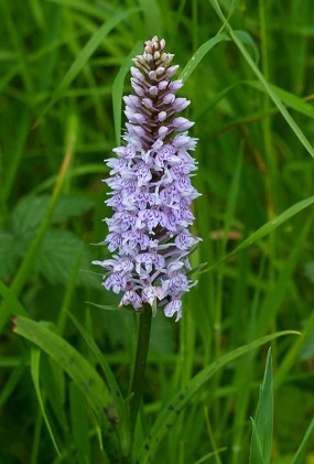 Common spotted orchid (this year's first sighting)
