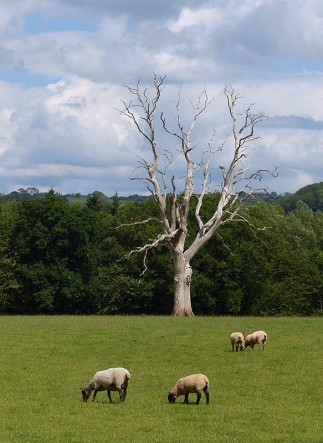 Sheep and dead tree