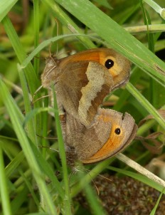 There will be more meadow browns in due course