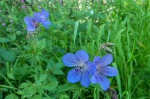 Cranesbill by the river