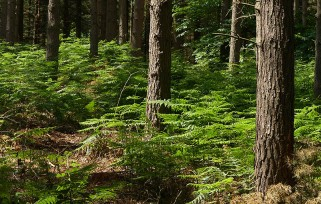 Bracken in the woods