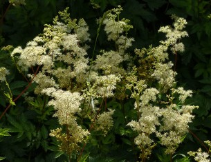 Frothy meadowsweet