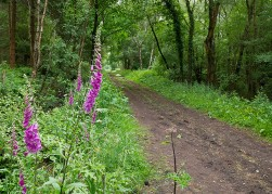 "Foxgloves beside the ""Long Mile"""