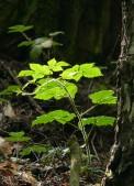 Woodland brambles