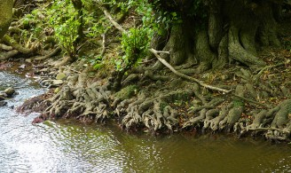 Roots in the brook