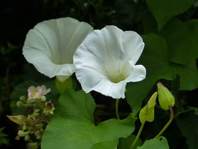 Linley Brook bindweed