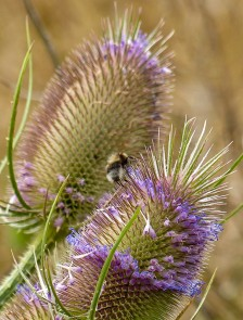 Teasels and a bee