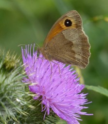 """Meadow brown: """"this'll do for me"""""""
