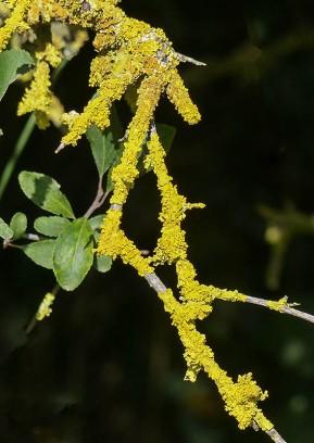 Luminous lichen
