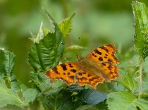 A comma amongst the brambles
