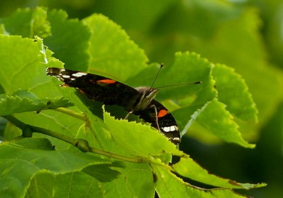 Red admiral in the tree