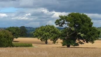Cornfields...