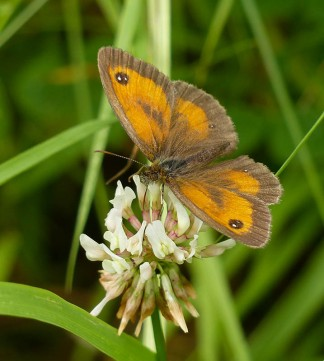 Gatekeeper on clover...