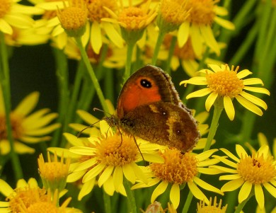 Gatekeeper 2 on ragwort